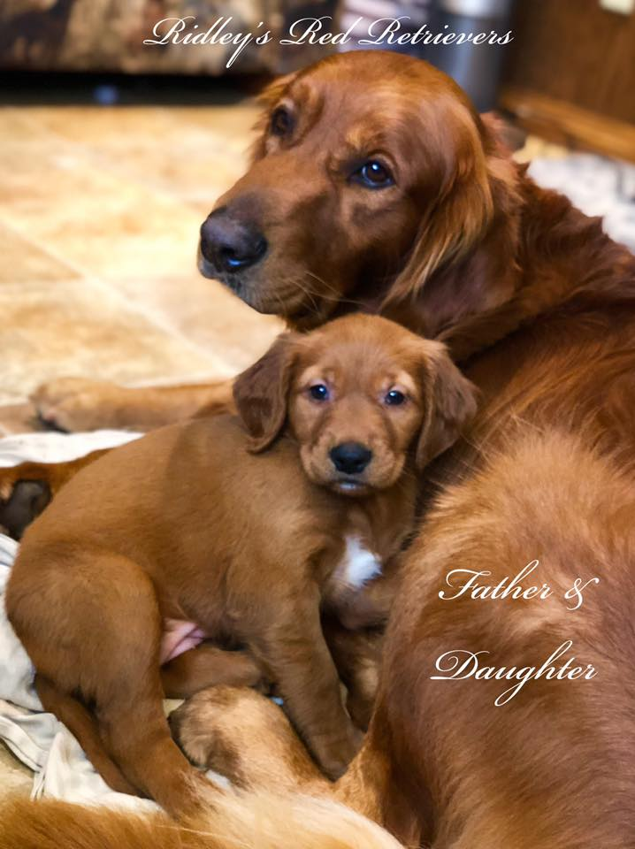 Golden Retriever Puppies Pennsylvania Puppies For Sale Ridleys