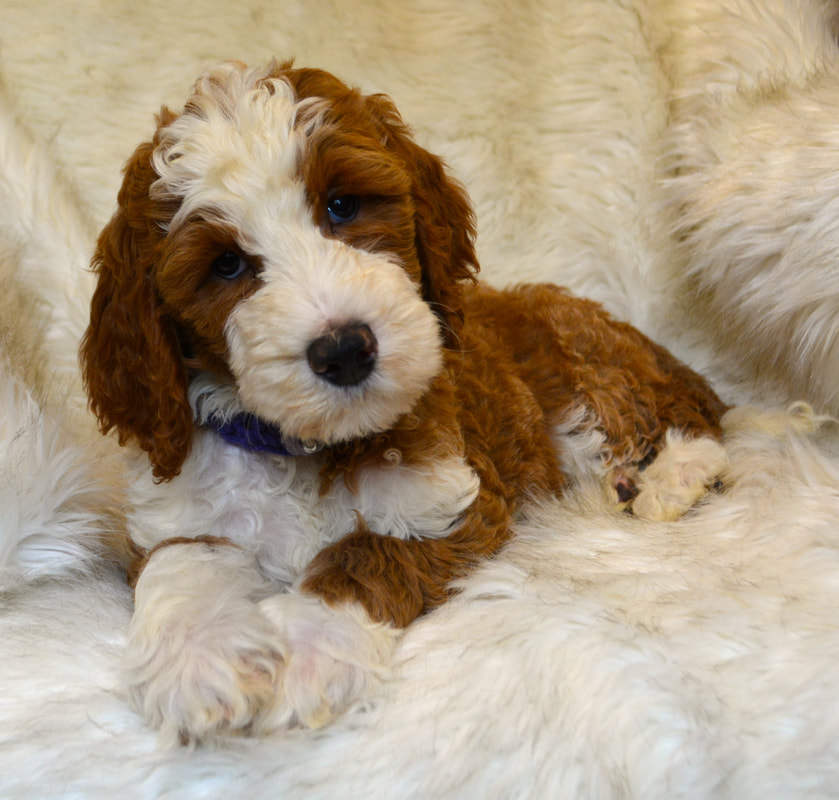 Doodle Puppies For Sale | Pennsylvania Puppies - Ridley's