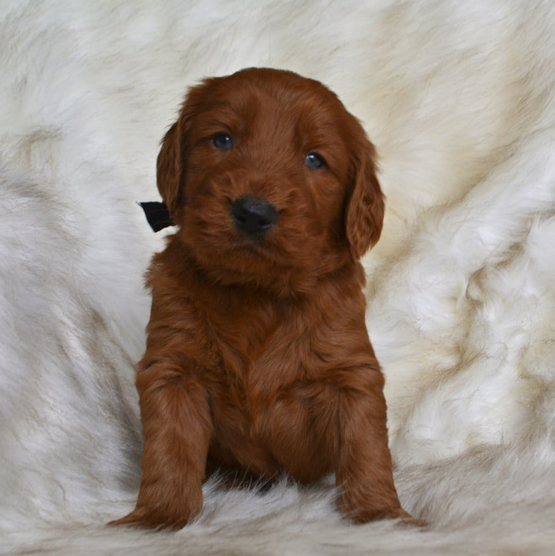 Doodle Puppies For Sale Pennsylvania Puppies Ridleys Red Retrievers